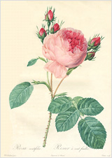 pic_rose.jpg