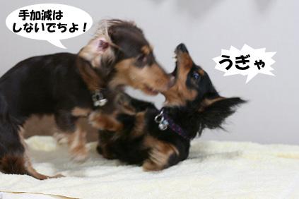 2008 07 29 チョロお預かり日記 blog06のコピー