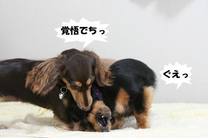 2008 07 29 チョロお預かり日記 blog04のコピー