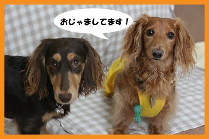 2008 07 29 チョロお預かり日記 blog18のコピー