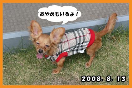 2008 08 13 ひな&あやめ blog09のコピー