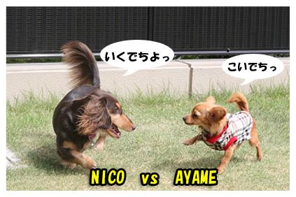 2008 08 13 ひな&あやめ blog03のコピー