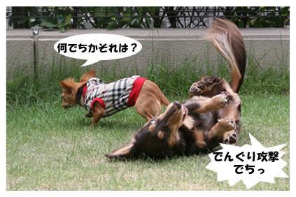 2008 08 13 ひな&あやめ blog08のコピー