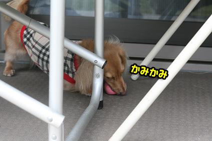 2008 08 13 ひな&あやめ blog12のコピー