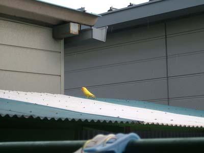 yellowbird.jpg