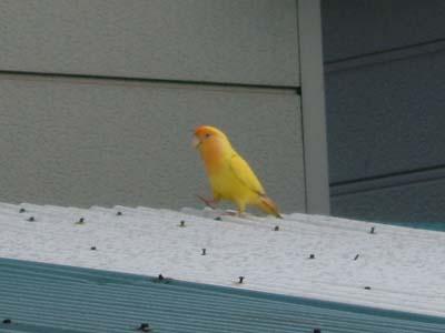 yellowbird1.jpg