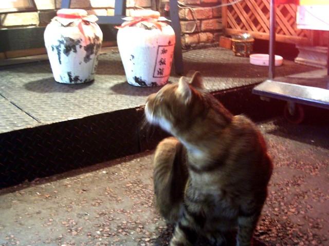 横浜中華街猫