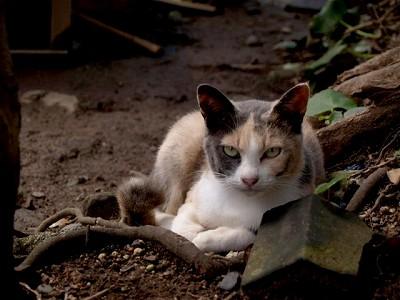 高知足摺岬の猫