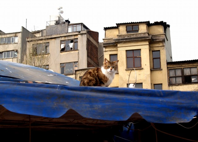 イスタンブール市場猫