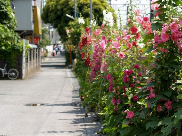 鎌倉 線路沿いに咲く立葵の花