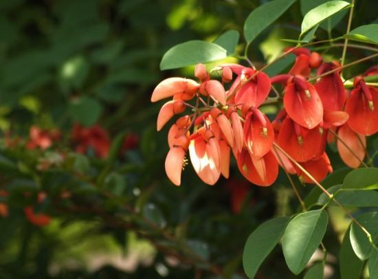 海紅豆(かいこうず)の花