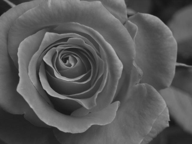 あなたの好きなバラ色はなんでしょうか?