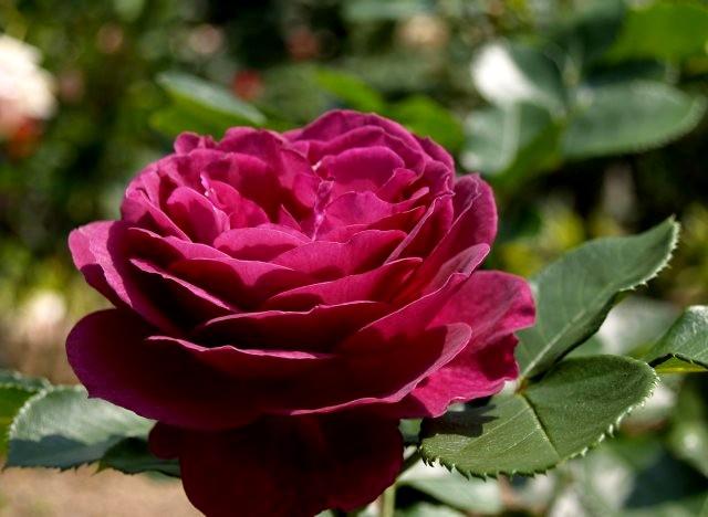 エブタイド スモーキーなプラムパープルというミステリアスな花色の新品種