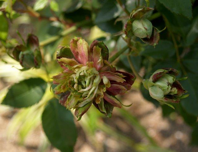 グリーンローズ (オールドローズ) 明治時代のバラのカタログに青花として紹介されている