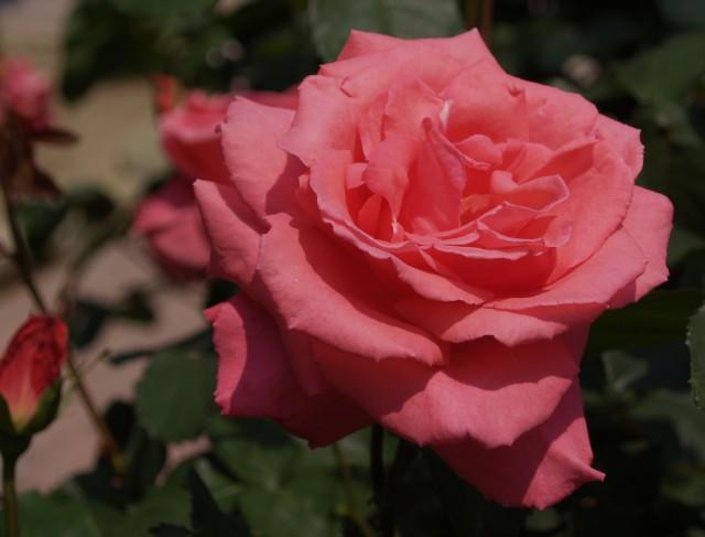 芳純 1981年 日本 現代バラの中では屈指の香りの良さと言われ資生堂からはパパメイアンと芳純の2種類のコロンが出されている