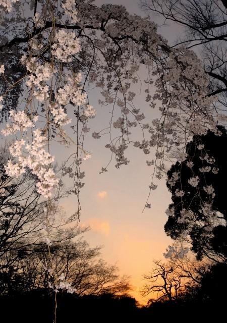 東京 六儀園のしだれ桜
