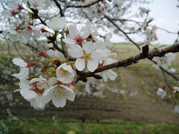 山下通り・桜