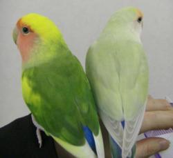 ピヨ&チョボちゃん
