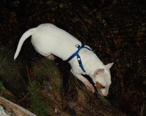 カラフトマス密漁犬の実態1