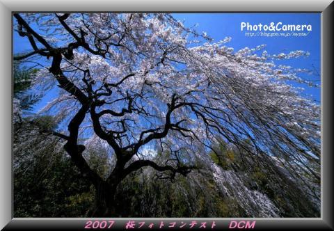 桜フォトコン