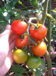 スイートトマト