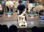 羊の毛刈り①