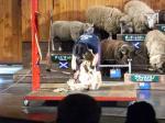 羊の毛刈り②