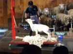 羊の毛刈り③