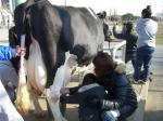 牛の乳搾り①