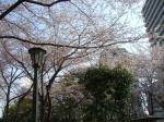 桜・・・終わりかけ?