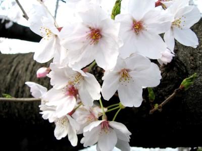 プチお花見2-1