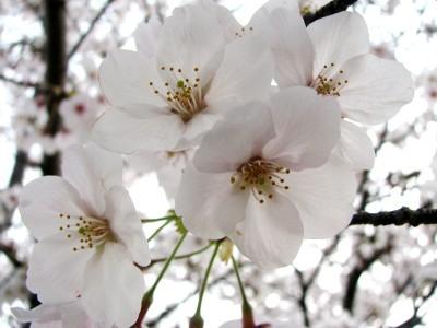 プチお花見2-6
