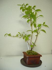 小葉のズイナ