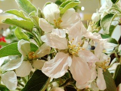 林檎の花2