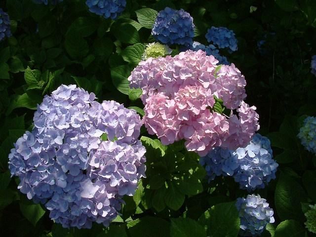 八景島紫陽花