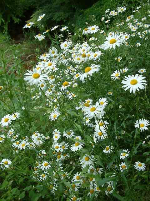 梅雨時の花