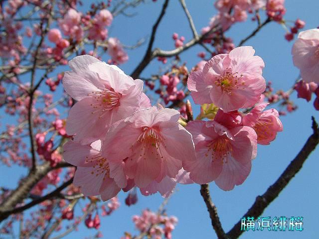 保土ヶ谷公園 横浜緋桜