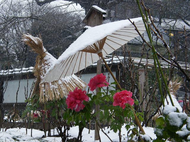 雪中寒牡丹