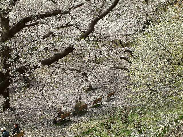 三ツ池公園桜吹雪