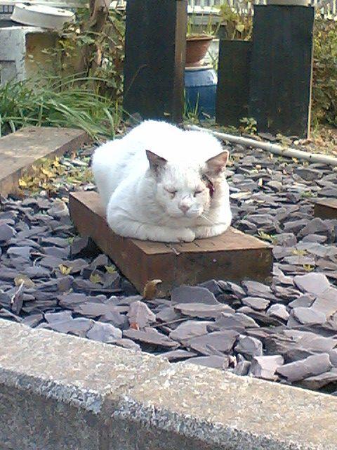 町のボス猫