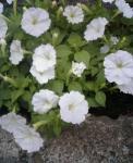2007_0529augnatuyasumi0015.jpg