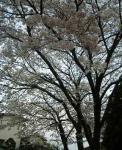 2008_032520080328Sakura0001.jpg