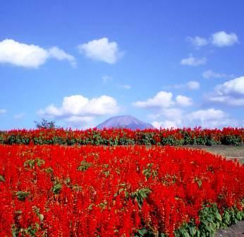 サルビア畑越しの大山