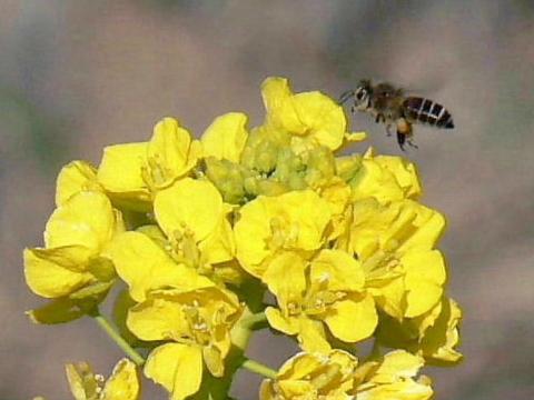 菜の花に蜜蜂