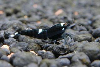 blackkingkongshrimp_11.jpg