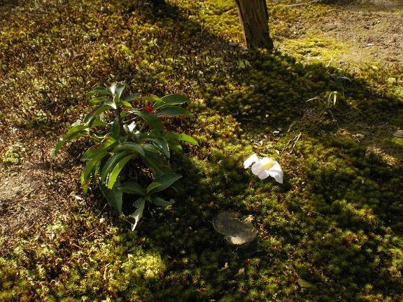 マンリョウの咲く苔の野に散る椿