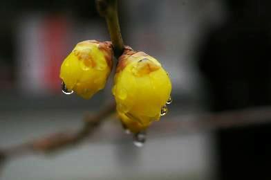 無論咲きたる梅はある