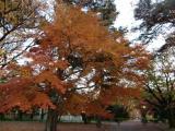 小金井公園で紅葉狩り