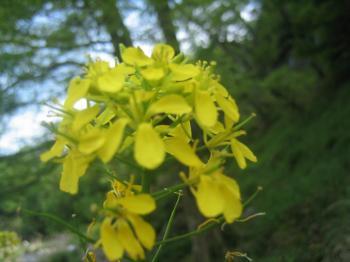 また菜の花