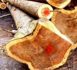 施主伐採・杉の木